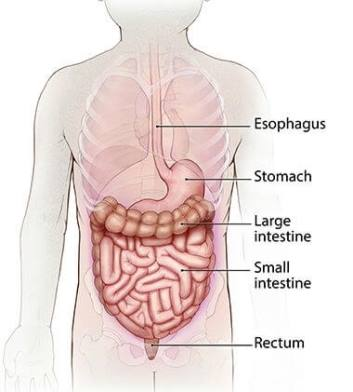 Diagram of a normal digestive system